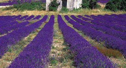 x provence lavender field
